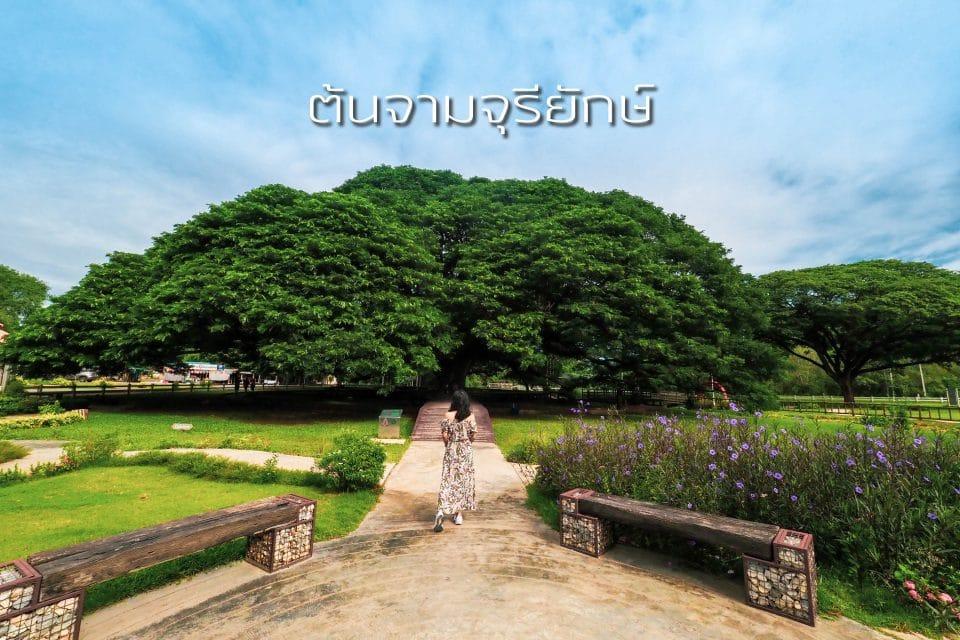 เที่ยวกาญจนบุรี ต้นจามจุรียักษ์ กาญจนบุรี