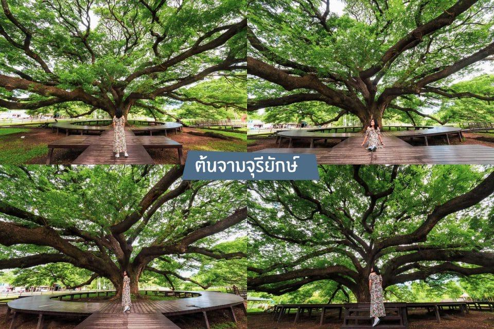 ถ่ายรูปต้นจามจุรียักษ์ แบบไม่มีคน เที่ยวกาญจนบุรี